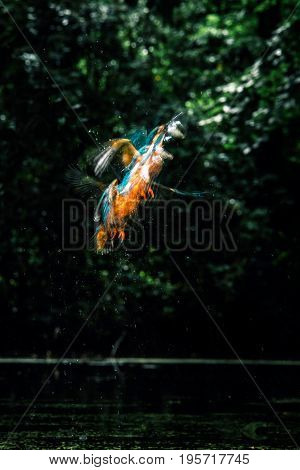 Sequence Of Common Kingfisher With Fish In Beak Taking Off Out Of River.