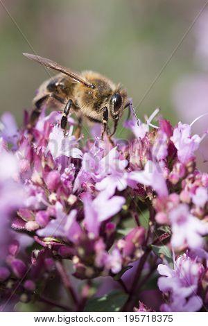 Honey Bee on Origanum (Oregano) laevigatum 'Herenhausen'