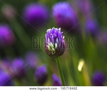 Close up of a garlic flowers in a garden