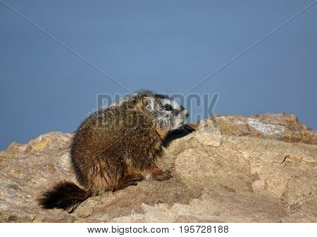 a small baby marmot on a rock