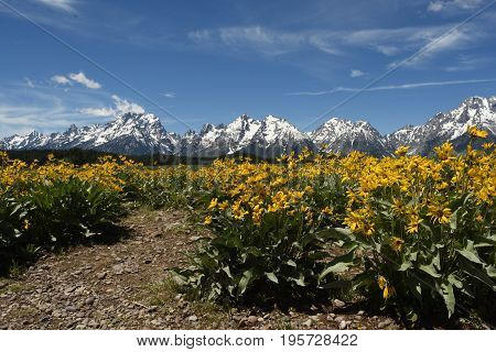 the grand Teton mountains seen from a field of wild flowers