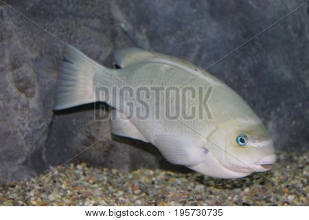 Light gray fish with pale green hue and teal blue eye