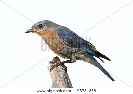 Female Eastern Bluebird (Sialia sialis) on a perch - Isolated on a white background