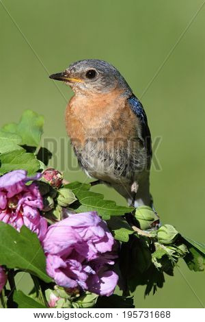 Female Eastern Bluebird (Sialia sialis) on a perch with flowers