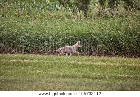 Coyote Pup canada against wheat crop Saskatchewan