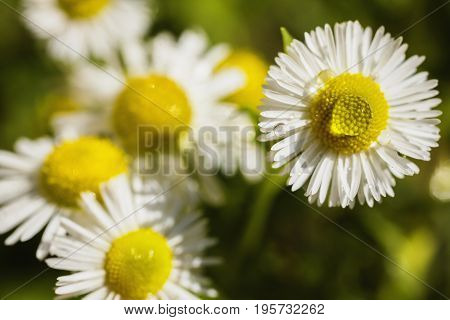 Chamomile with dew. White summer flower with water drops on a dark green background in a flower bed. Greeting card. Beautiful natural flower pattern. Beautiful summer flower. Spring fresh flower. Flower against the background of summer nature. Abstraction
