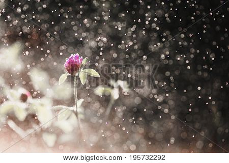 Violet clover with dew. Beautiful summer field flower in the rain on a dark background. Natural abstract photo of flower. Bokeh from the rain flower. Beautiful summer flower. Spring fresh flower. Flower against the background of summer nature. Abstraction