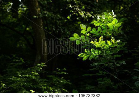 Deciduous green tree in the rainforest. Green leaves on a tree. Green summer background. Green tree. Green nature texture. Abstraction with a green background. The sun shines on the green foliage. Green summer nature background.