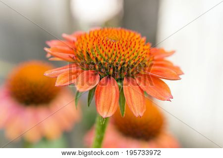 Side View Of Vibrant Orange Coneflower, Shallow Depth Of Field Highlighting Stamen, Petals And Polle