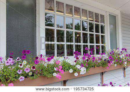 beautiful colorful petunias in a window box with multi pane window