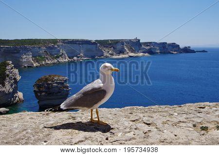 Seagull And The White Cliffs Of Bonifacio, Corsica.