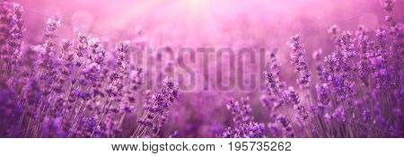 violet lavender field at sunset