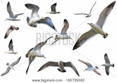Flying seagulls isolat on a white background.