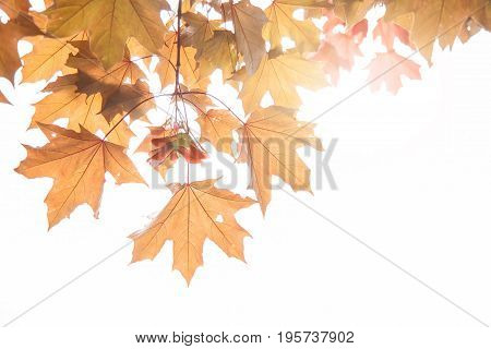 maple leaves and maple keys on a twig in autumn Sycamore keys Acer pseudoplatanus.