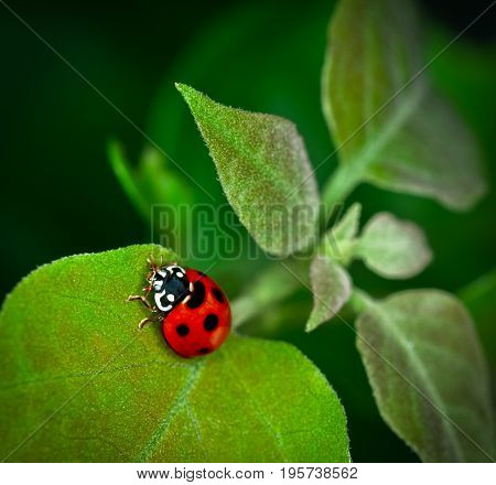 Ladybug climbing on green leaf green bokeh background