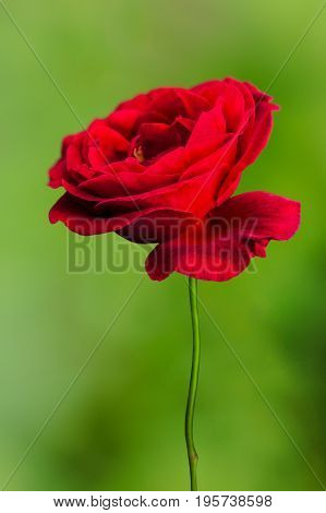 Red Rose over green smooth bokeh background