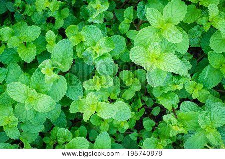 green peppermint herb leaf in natural garden