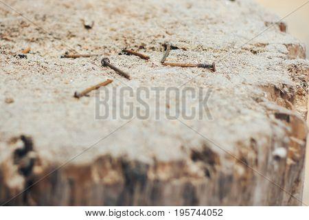 Rusty screws stuck on wooden stump focus on screws