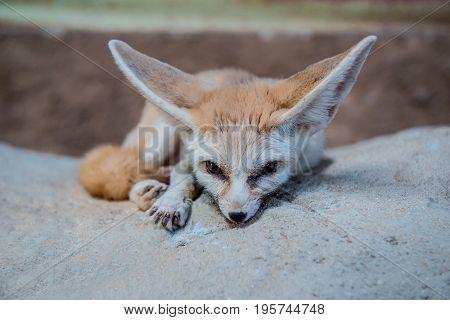 smallest Fennec fox in Sahara desert, alone