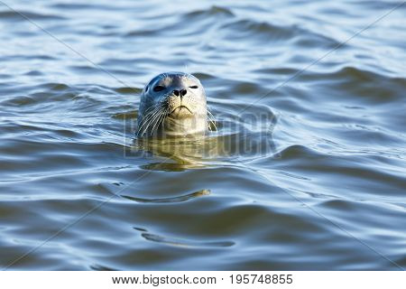 Curious Harbor Seal (Phoca vitulina) Peering Over. San Mateo County, California, USA.