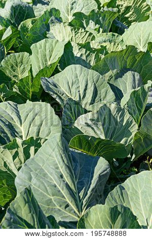 Rows of white cabbage in the garden in summer