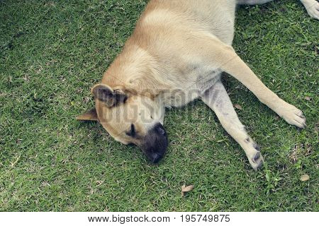 Dog sleeping on green. Lazy dog laying on green to sleep.