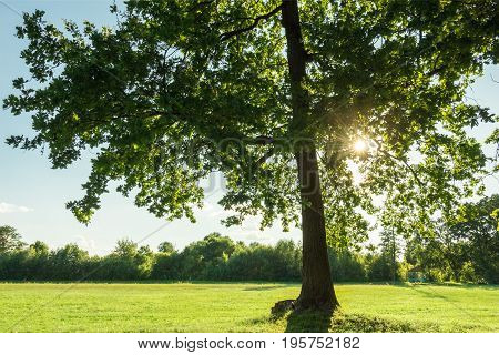 Oak branches with green leaves through which shines the summer bright sun