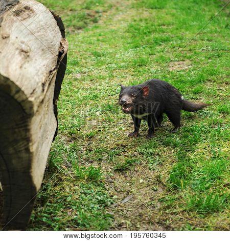 Tasmanian Devil Found During The Day In Tasmania.