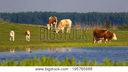 Herd of cows and calves on the watering place