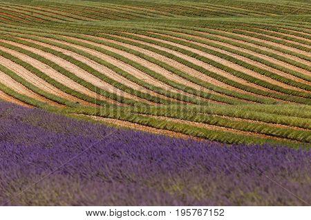 lavender fields in valensole provence france landscape