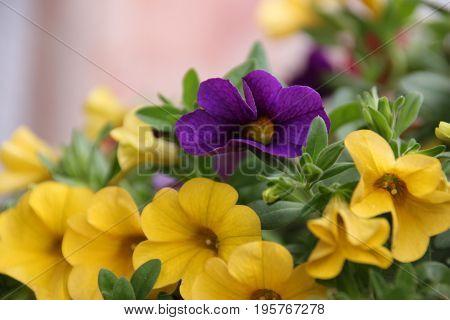 Colorful macro petunias flowers summer flower in garden background