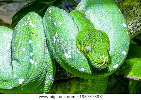 Green tree python on tree. Morelia viridis