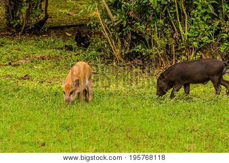 One Brown And One Black Domestic Pig Eating Grass
