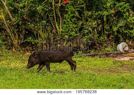 Black Domestic Pig Eating Grass