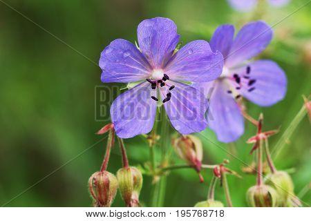 Blue Geranium pratense flower. Geranium pratense known as the meadow crane's-bill or meadow geranium .