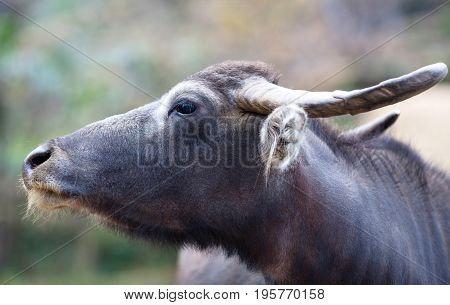 Asian water buffalo close up on blurred background