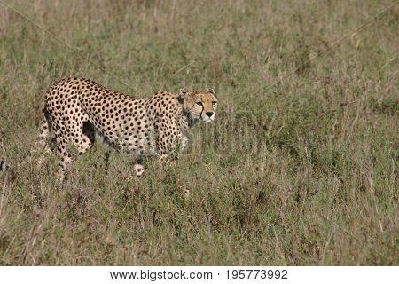 Cheetah Botswana Africa Savannah Wild Animal Mammal
