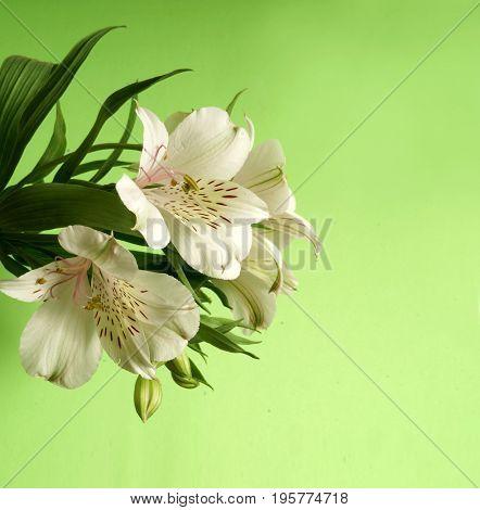 White Alstroemeria. White flower on a green background