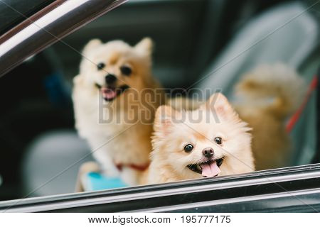Two cute pomeranian dogs smiling on car going for travel or outing. Pet life and family concept
