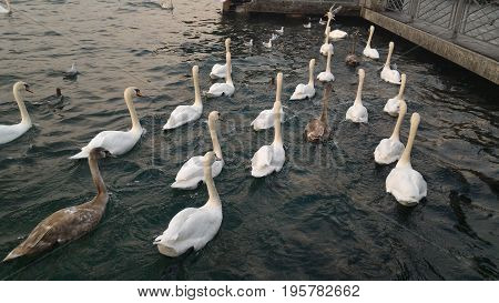 Many swimming swans follow the leader on the green lake
