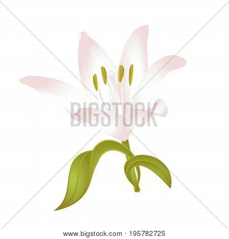 Lily white Lilium candidum a white flower with leaves vector illustration editable Hand drawn