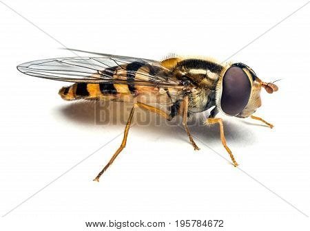 Syrphidae wasp or the fly isolated on white background macro photography