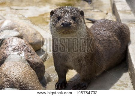 Otter or River otter or common otter or pestle Lutra lutra is a species of predatory mammals of the family of cuni, leading a semi-aquatic life. Close-up poster