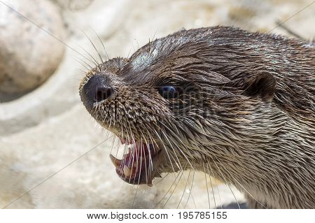 Head of the river otter with a wide open mouth. Shows teeth. Close-up