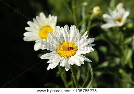 close photo of a ladybug feeding on the white bloom of daisy wheel