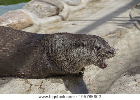 Predatory river otter opens the mouth and shows sharp fangs