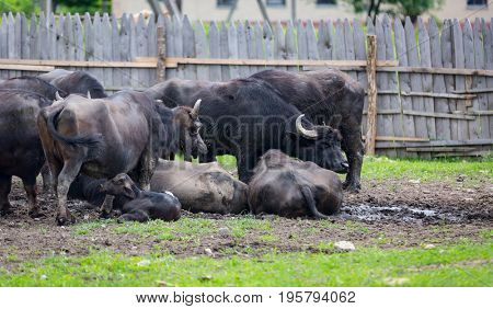 buffalo flock on farm pasture