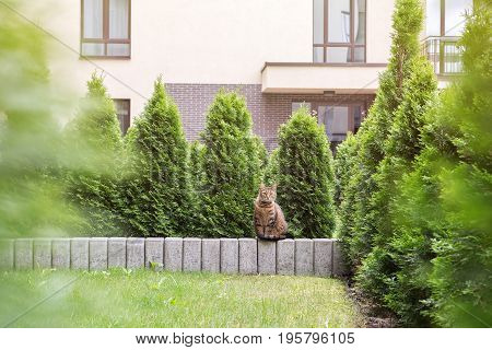 Tabby cat sitting on stone small wall surounded by arborvitae hedge