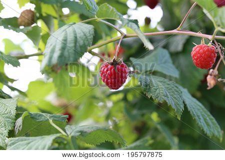 Berry's time / Ripe raspberries on the bush
