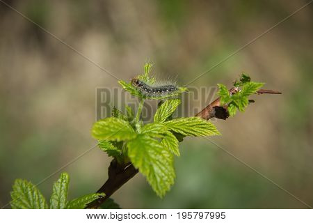 Shaggy black caterpillar crawling on a green leaf and a branch in the forest